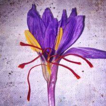 دانلود صفرتاصد کاشت و برداشت و صادرات زعفران