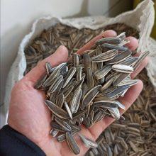 تخمه آفتابگردان دور سفید خوی Sunflower seeds white round temperament