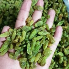 کشمش سبز درجه یک صادراتی First class green raisins for export